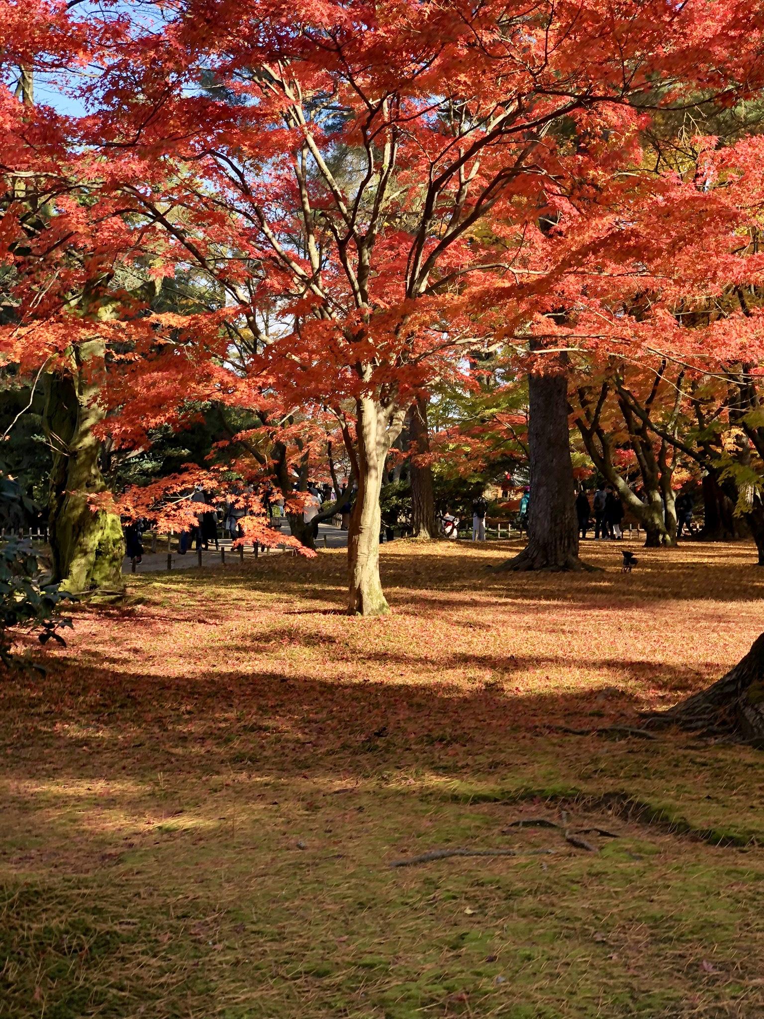 Japanese maples in Kenroku-en